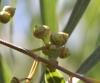 Eucalyptus tereticornis. Fruits.