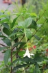 Euclinia longiflora Salisb