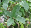 Euclinia longiflora Salisb.
