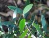 Eugenia mespiloides Lam
