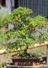 Bonzaï de Eugenia uniflora L