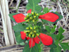 Euphorbia cyathophora Murray
