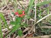 Euphorbe écarlate - Euphorbia cyathophora