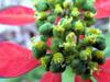 Euphorbia cyathophora Murray Euphorbe écarlate, Petit poinsettia