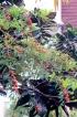 Euphorbia fulgens Karw. ex Klotzsch.
