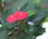 Euphorbia geroldii Rauh
