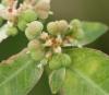 Euphorbia heterophylla L