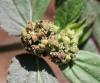 Euphorbia hirta L