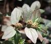 Euphorbia hirta L.