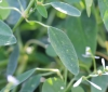 Euphorbia hypericifolia 'Diamond Frost'.