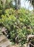 Euphorbia ingens E.Mey. ex Boiss.