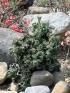 Euphorbia lactea f. cristata.