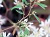 Euphorbia leucocephala Lotsy