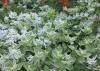 Euphorbia marginata Pursh, euphorbe panachée