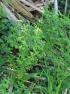 Euphorbia peplus.
