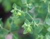Euphorbia peplus L