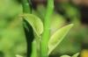 Tige et feuilles Euphorbia tithymaloides