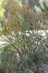 Euphorbia xylophylloides Brongn. ex Lem