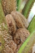 Cyathea glauca Bory, Fanjan : fronde