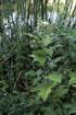 Solanum torvum SW. Fausse aubergine, aubergine sauvage.