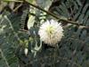 Faux mimosa, Leucaena leucocephala