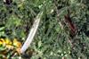 Gousses Leucaena leucocephala