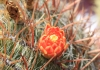 Ferocactus pilosus (Galeotti ex Salm-Dyck) Werderm