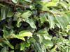 Figuier grimpant ou Lierre péi - Ficus pumila