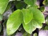 Feuilles : Figuier grimpant ou Lierre péi - Ficus pumila