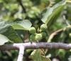 Ficus carica L