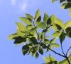 Ficus lateriflora Vahl