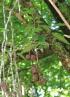 Ficus mauritiana Lam