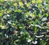 Ficus microcarpa L. f