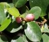 Ficus microcarpa L. f Arbre de l'intendance
