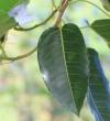 Ficus rubra Vahl