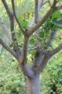 Ficus rubra Vahl.