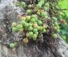 Ficus sycomorus L