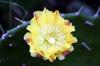 Opuntia ficus-indica (L.) Mill