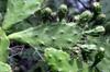 Fruits : Opuntia ficus-indica.