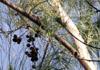 Casuarina equisetifolia, Filaos