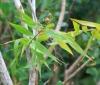 Flagellaria indica L