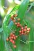 Flagellaria indica L Flagellaire d'Inde