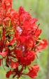 Delonix regia, Fleurs flamboyant