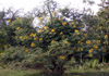 Caesalpinia pulcherrima.