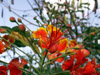 Fleurs rouges : Caesalpinia pulcherrima.