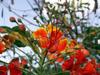 Flamboyant nain Caesalpinia pulcherrima