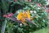 Oiseau de paradis Strelitzia reginae