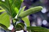Fleur de fruit à pain, Artocarpus altilis.