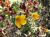 Fleur jaune des hauts