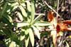 Fleur jaune Hypericum lanceolatum Endémique de La Réunion